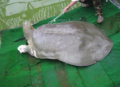 Rùa hồ Gươm chết chiều 19-1